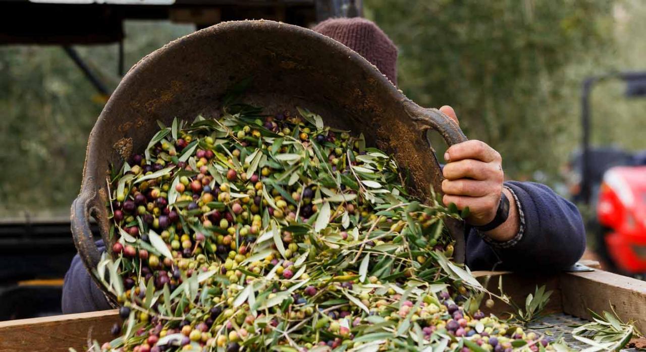 Amortización mínima. Hombre cosechando aceitunas